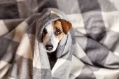 Dog under a plaid. Pet warms under a blanket in cold autumn weather poster