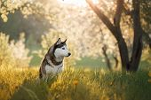 Dog Siberian Husky In The Apple Orchard poster