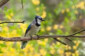 image of blue jay  - a blue jay perched on a limb with yellow forsythia blooming in the background - JPG