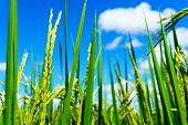 Close Up Of Organic Rice Produce Grain In The Rural Rice Paddy Fields With Blue Sky And Cloud At Cou poster