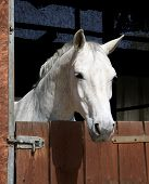 stock photo of white horse  - A portrait of a horse in the sunset - JPG
