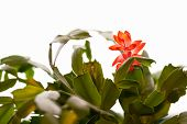 stock photo of schlumbergera  - Schlumbergera cactus one flower and white background - JPG