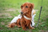 Portrait Of A Dachshund, Red Long-haired, In A Suit At A Parade Of Dachshunds poster