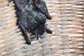 Baby Flying Bat Hanging On Bamboo Basket poster