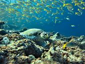 Underwaterphoto Of A Hawksbill Turtle From A Scuba Dive In The Indian Ocean - Maldives. poster