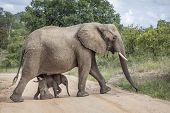 African Bush Elephant Female With Baby In Kruger National Park, South Africa ; Specie Loxodonta Afri poster