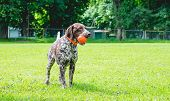 German Shorthaired Pointe Dog Stands On The Lawn Grass With A Ball In His Teeth poster