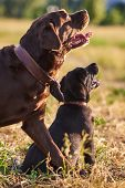 Adult Labrador And Cute Labrador Puppy,tongues Sticking Out, Sitting On The Grass And Looking Up For poster