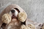 Sick, Playful  Or Scared Cavalier Dog Puppy Covered With A Warm  Tassel Blanket On Sofa. poster