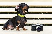 Cute Dog Dachshund, Black And Tan, In Collar, Listening To Music With Headphones, And Vintage Photo  poster