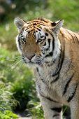 The Siberian Tiger (panthera Tigris Altaica), Also Known As The Siberian, Amur, Altaic, Korean, Manc poster