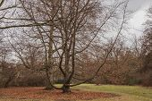 Huge Branched Tree In Center Of Lawn In Tiergarten Park Of Berlin Germany. Tranquil Landscape With N poster
