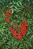 foto of barberry  - A nandina shrub or heavenly bamboo or sacred bamboo is a suckering shrub in the Barberry family - JPG