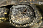 stock photo of terrapin turtle  - Turtle tortoise terrapin eye macro - JPG