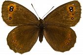 Erebia Aethiops (scotch Argus)