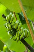 stock photo of premature  - Green premature banana fruit on banana tree as a common sighting in tropical countries - JPG