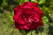 picture of garden eden  - red rose against a green garden background - JPG