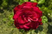 stock photo of garden eden  - red rose against a green garden background - JPG