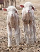 pic of lamb  - Two snow white lambs standing side by side strike an identical pose - JPG