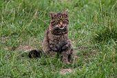pic of wildcat  - Scottish Wildcat sitting in grass on sunny day - JPG