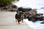 stock photo of moosehead  - Small short hair dachshund playing on wooden pier in Moosehead Lake - JPG