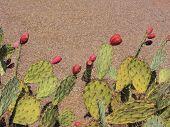 foto of nopal  - Paddle cactus with red fruits in Arizona desert - JPG