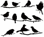 foto of naturalist  - Vector images silhouettes of birds on a branch - JPG