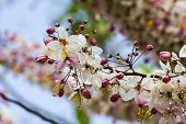 foto of cassia  - The pink cassia flower tree in thailand - JPG
