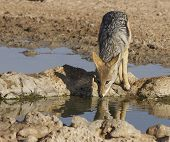 foto of jackal  - Black backed jackal drinking water at a waterhole - JPG