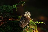 foto of small-hawk  - Boreal Owl standing on the moss in the wood - JPG