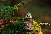 image of small-hawk  - Boreal Owl standing on the moss in the wood - JPG