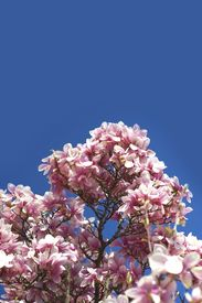 picture of saucer magnolia  - Blooming Magnolia Branches - JPG