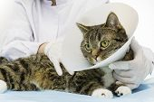 picture of neck brace  - Veterinarian treated a brown tiger cat wearing a neck brace - JPG