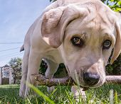picture of dick  - Small dog playing with a stick in his mouth and a curious look  - JPG