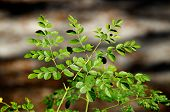 foto of moringa  - Looking down at the leaves at the top of a young moringa tree used for alternative medicine - JPG