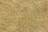 picture of top-less  - Dry grass texture  - JPG