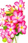 picture of desert-rose  - Beautiful flower blossom of Desert Rose - JPG