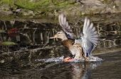 Female Mallard Duck Landing In Pond