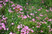 Garden full of Nerium oleander blossoms