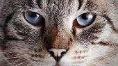 picture of blue tabby  - Muzzle of a blue - JPG