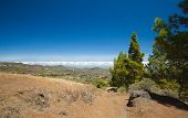 stock photo of pinus  - Gran Canaria inland endemic pine Pinus canariensis grows on mountainsides hiking trail - JPG