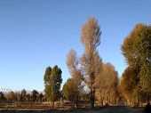 image of euphrat  - A row of yellow trees in the autumn - JPG