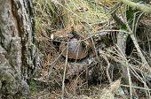 picture of boletus edulis  - A good example of boletus edulis mushroom hidden in nature - JPG