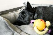 picture of scottish terrier  - Puppy of scottish terrier sleeping with toys on a sofa indoor shot - JPG