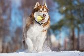 foto of husky sled dog breeds  - brown siberian husky dog outdoors in winter - JPG