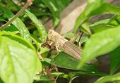 stock photo of locust  - Without one leg locust eating dried leaves - JPG