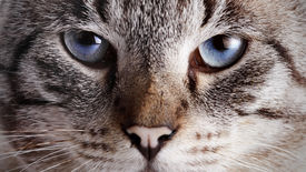image of tabby-cat  - Muzzle of a blue - JPG
