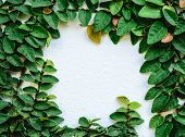 picture of creeping  - creeping fig on the wall like a picture frame - JPG