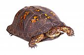 stock photo of terrapin turtle  - Red - JPG