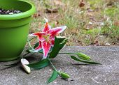 image of day-lilies  - Pink day lily looks like it is trying to get away from a garden pot - JPG